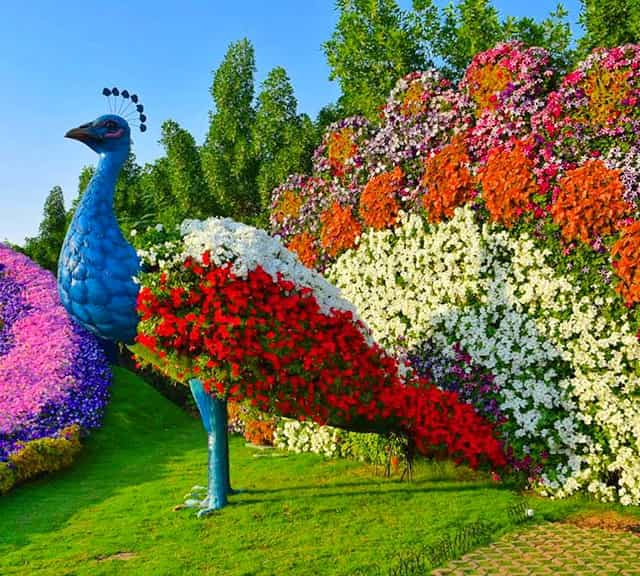 Petunia flowers decorated on Floral Peacocks of Dubai Miracle Garden.