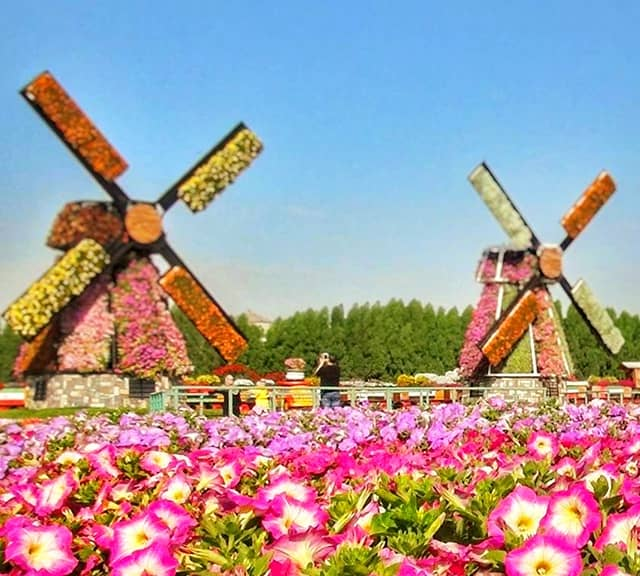 Floral Windmills Size at the Dubai Miracle Garden.
