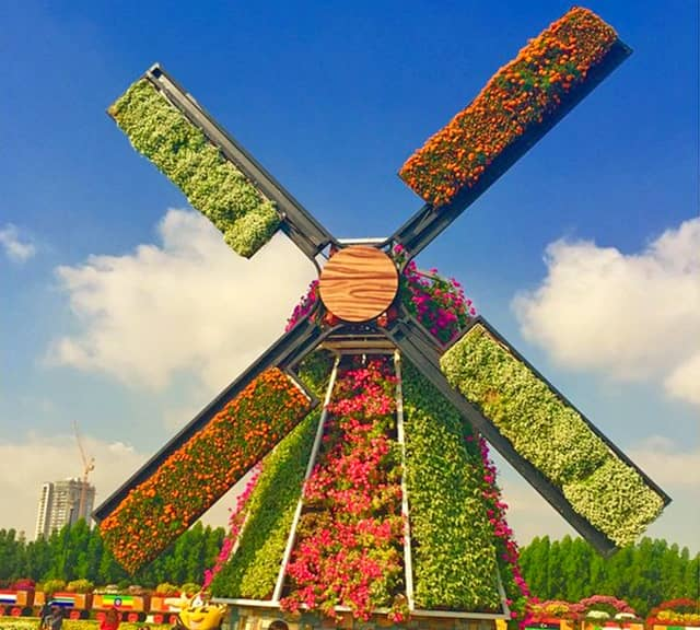 Petunia flowers have been used to decorate the Floral Windmills of the Dubai Miracle Garden