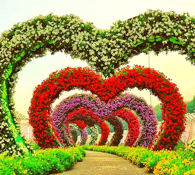 Hearts Passage have Petunia Flowers at the Dubai Miracle Garden